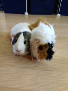 Two guinea pigs need new home due to allergies