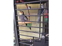 Two cockatiels and cage
