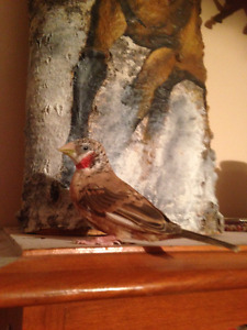 2 Baby Males Cutthroat Finches