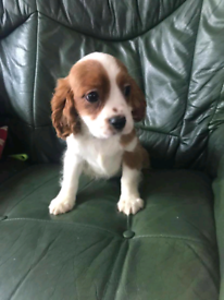 Beautiful king Charles for rehoming