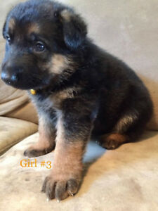 KING SHEPHERD PUPS - Edmonton Area -Have girls and one boy now