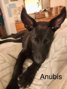 Anubis-7mth male terrier/Malinois/GSD mix