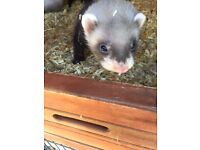 Pair of ferret kits for sale