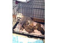 Lhasa apso pup (dog)