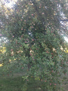 McIntosh, Gala, Granny Smith Apples and Concord Grapes for sale Peterborough Peterborough Area image 1