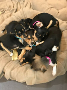 Adorable MinPin X rescue puppies looking for forever homes!