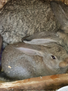 Pure Flemish and rex rabbits