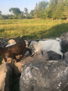Intact Male Pygmy goat  SOLD