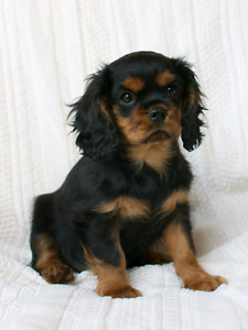 WANTED  - Cavalier king Charles spaniel