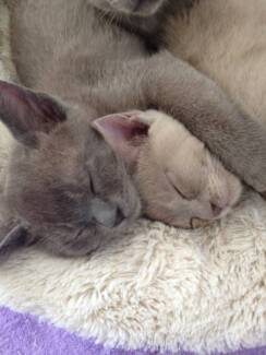 Purebreed Burmese Kittens Lithgow Lithgow Area Preview
