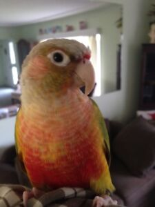 Male Pineapple Conure For Sale or Trade