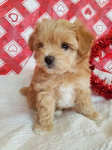 2 Pompoo puppies and Mom for sale