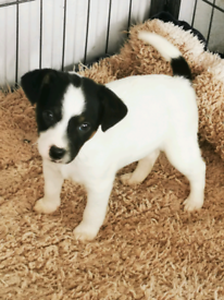 Beautiful Jack russell dog