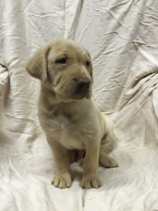 CKC Registered LAB PUPPIES