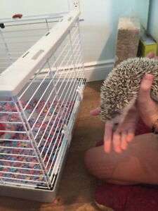 Year old hedge hog FOR SALE