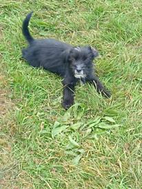 Poodle X Shih Tzu Puppy