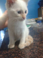 10 week old flame point siamese