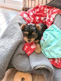 Beautiful Yorkshire terrier female