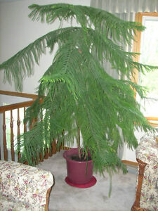 6' Norfolk Pine Tree