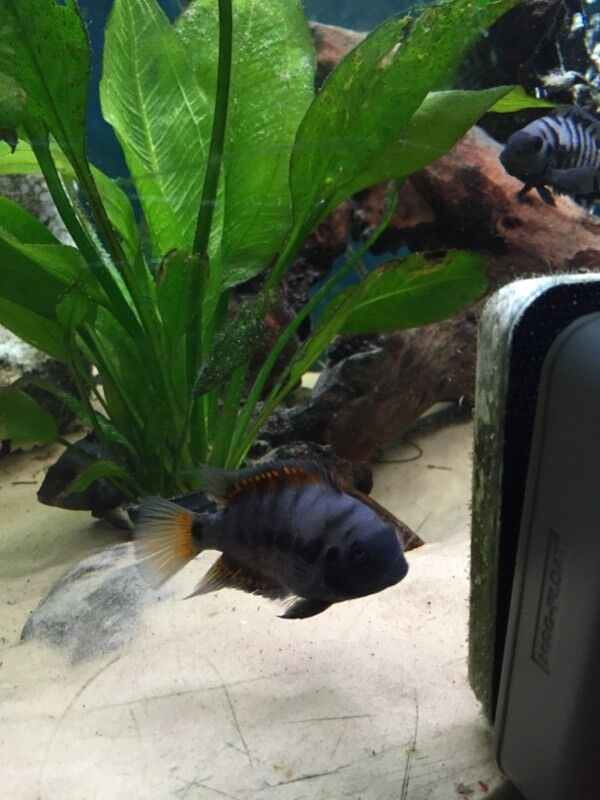 Convict Fish For Sale Parrot Fish And Baby Convict