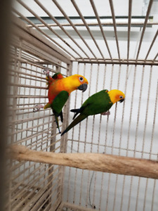 PROVEN PAIR OF JENDAY CONURES