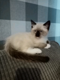 Seal point ragdoll vet checked first injection