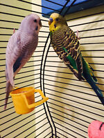 Pair of Budgie Birds plus cage and accessories FREE