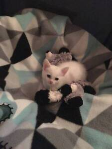 AK1818 : Pearl - KITTEN FOR ADOPTION - Expressions Of Interest High Wycombe Kalamunda Area Preview