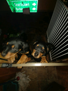 Purebred Rottie puppies