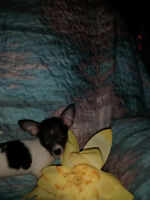 small chihuahua puppies  1 puppy left pic below