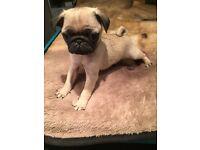 Kc pug puppy
