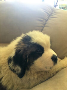 3 M & 3 F St Bernard Pups for sale.1 male left ready to go now