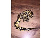 Male pastel Royal Python snake about 1500g