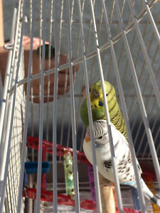 Male & female budgies w everything