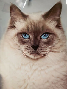 Handsome and sweet blue point retired male Ragdolls.