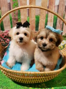 Maltese ×Shihtzu males puppies