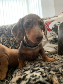 3 stunning miniture dachshund pups