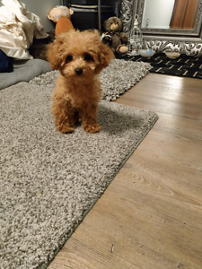 Wanted: female teacup puppy =)