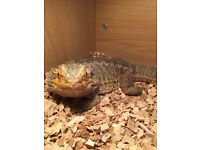 Male bearded dragon only 1 year old