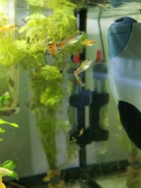 Baby guppies, platies, albino Lf Bn plecos, ramshorn snails.