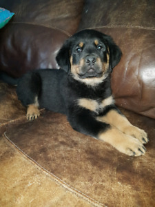 Male rotti cross puppies