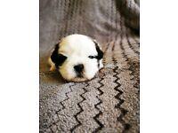 1 beautiful shih tzu pup for sale