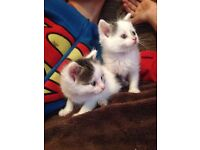 White and grey tabby kittens!