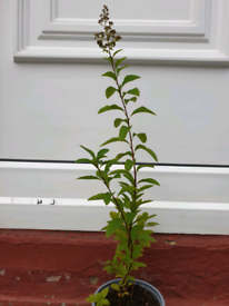 Meadowsweet Garden plant