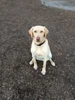 Yellow Labrador Retriever looking for a loving home
