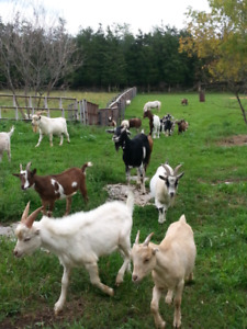Goat Herd Dispersal - Friendly and Healthy!
