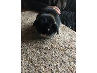 Black Otter Mini Lop