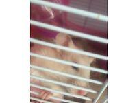 Free female hamster