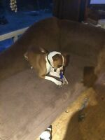 Re-homing my 1 year old boxer.