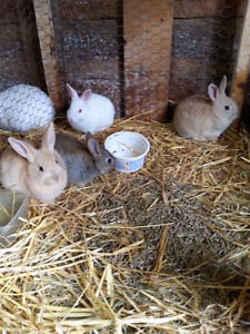 Baby bunnies for sale.